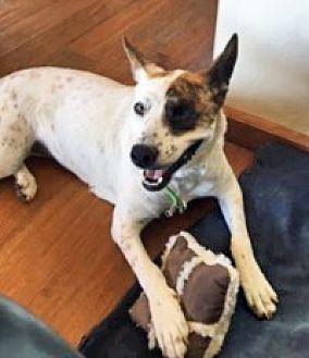 Cattle Dog Mix Dog for adoption in San Diego, California - Pinta