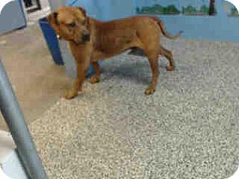 Pit Bull Terrier Mix Dog for adoption in San Bernardino, California - URGENT on 8/2 SAN BERNARDINO