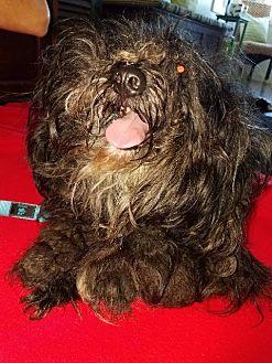 Shih Tzu/Poodle (Standard) Mix Dog for adoption in Freeport, New York - Sparkey