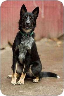 Border Collie/Australian Cattle Dog Mix Dog for adoption in Portland, Oregon - Zee