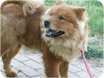 Chow Chow Dog for adoption in Auburn, California - LOLA