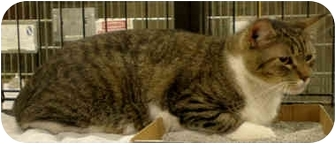 Domestic Shorthair Cat for adoption in Yorba Linda, California - Picachu