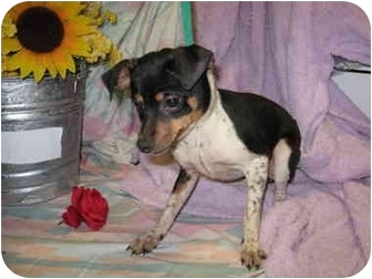 Rat Terrier/Chihuahua Mix Dog for adoption in Fort Wayne, Indiana - Jam