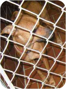 Chihuahua/Terrier (Unknown Type, Small) Mix Dog for adoption in Everman, Texas - Trixie