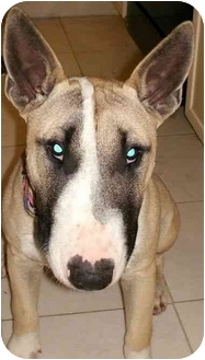 Bull Terrier Puppy for adoption in Houston, Texas - Chuckie
