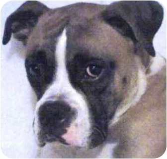 Boxer Dog for adoption in North Haven, Connecticut - Chaos