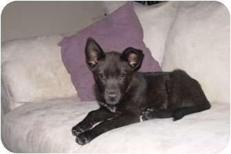 Shepherd (Unknown Type)/Labrador Retriever Mix Puppy for adoption in Phoenix, Arizona - Jane