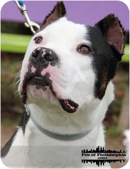 Pit Bull Terrier Mix Dog for adoption in Medford, New Jersey - Spence