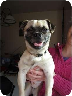 Pug/Beagle Mix Dog for adoption in Bellingham, Washington - Alex