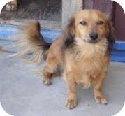 Dachshund Dog for adoption in Goodland, Kansas - Chevy