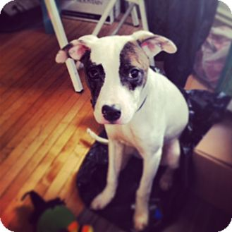 Pit Bull Terrier Mix Dog for adoption in Chicago, Illinois - Speck