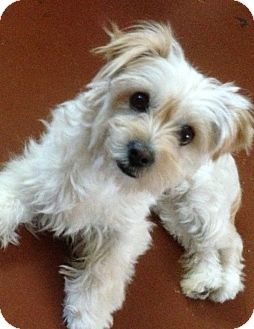 maltese yorkie mix rescue twinkie adopted dog los angeles ca maltese yorkie 700