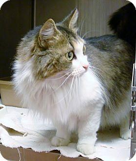 Domestic Mediumhair Cat for adoption in Marietta, Georgia - PRECIOUS (R)