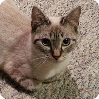 Siamese Cat for adoption in Portland, Oregon - Beatrice