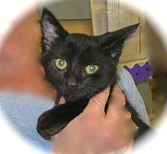 Domestic Shorthair Kitten for adoption in Fort Wayne, Indiana - Bernie