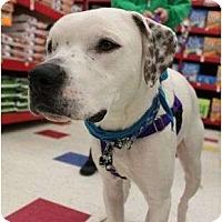 Adopt A Pet :: Oreo - Rochester, NY
