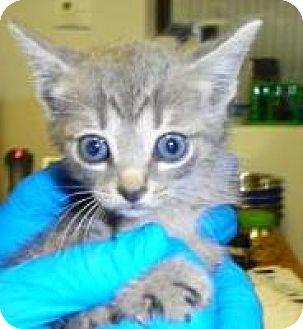Domestic Shorthair Cat for adoption in Lincolnton, North Carolina - Sage EUTH NOV 7 PLEASE SAVE