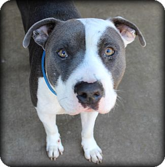 Pit Bull Terrier Mix Dog for adoption in Fort Worth, Texas - Winston