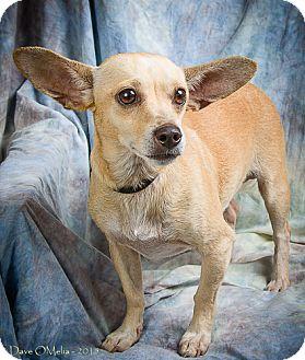 Dachshund/Chihuahua Mix Dog for adoption in Anna, Illinois - EDDIE