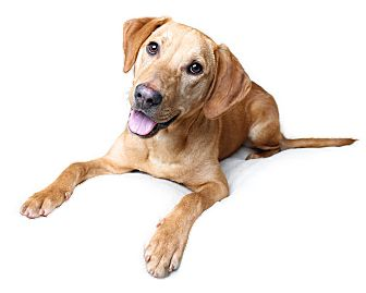 Labrador Retriever Mix Dog for adoption in Wilmington, Delaware - Chance