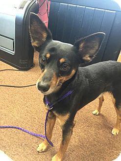 Miniature Pinscher/Fox Terrier (Smooth) Mix Dog for adoption in Cream Ridge, New Jersey - Max
