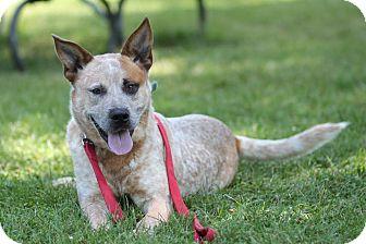 Australian Cattle Dog Dog for adoption in Midland, Michigan - Mick