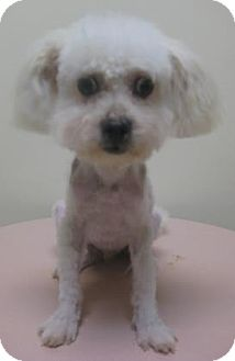 Maltese Mix Puppy for adoption in Gary, Indiana - Teddy