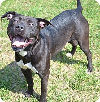 American Pit Bull Terrier Mix Dog for adoption in Elyria, Ohio - Kennel #2