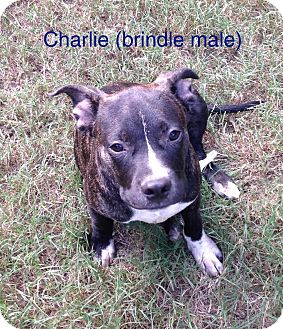Terrier (Unknown Type, Medium) Mix Dog for adoption in East Hartford, Connecticut - Charlie 1 meet me 9/16