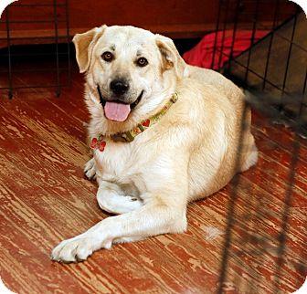 Great Pyrenees/Anatolian Shepherd Mix Dog for adoption in Tulsa, Oklahoma - Summer *Adopted