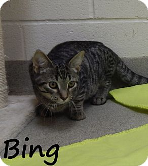 Domestic Shorthair Cat for adoption in Bucyrus, Ohio - Bing Clawsby