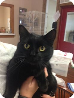 Domestic Shorthair Cat for adoption in Cashiers, North Carolina - Rue