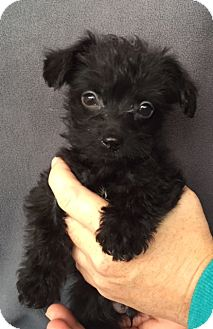 Poodle (Miniature)/Scottie, Scottish Terrier Mix Puppy for adoption in Hainesville, Illinois - Grover