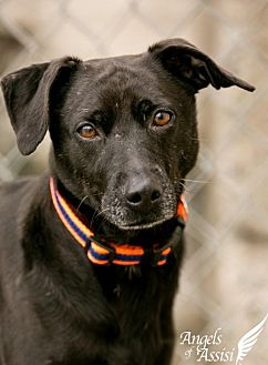Hound (Unknown Type) Mix Dog for adoption in Roanoke, Virginia - MIDNIGHT - Currently in a foster home