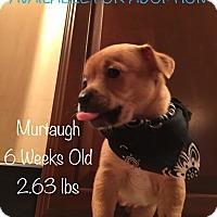 Adopt A Pet :: Murtaugh - Flower Mound, TX
