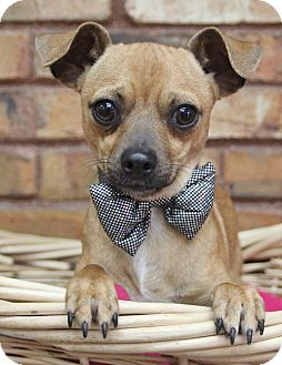 Chihuahua Mix Dog for adoption in Benbrook, Texas - Timothy