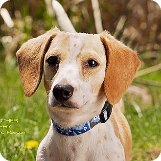 Dachshund Mix Dog for adoption in Cincinnati, Ohio - Donovan