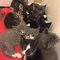 Adopt A Pet :: Donna's kittens - Overland Park, KS