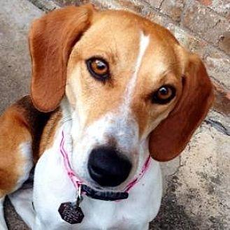 Beagle Mix Dog for adoption in Dallas, Texas - Bunny