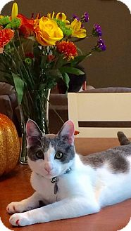 Domestic Shorthair Cat for adoption in Mundelein, Illinois - Boots