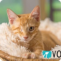 Domestic Shorthair Kitten for adoption in Ocala, Florida - Montgomery