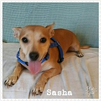 Adopt A Pet :: Sasha - Cherry Valley, CA