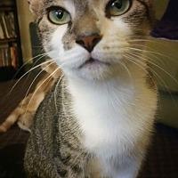 American Shorthair Cat for adoption in Albemarle, North Carolina - Victoria