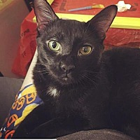Adopt A Pet :: Shadow Moon - Brooklyn, NY