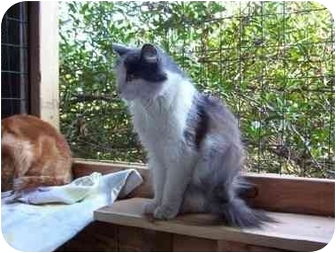 Domestic Longhair Cat for adoption in San Diego/North County, California - Bella