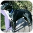 Photo 2 - Border Collie/Labrador Retriever Mix Dog for adoption in Tracy, California - Sparkie
