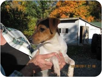 Jack Russell Terrier Mix Dog for adoption in Warsaw, Indiana - Scooby