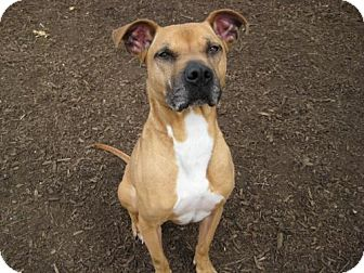 Boxer/American Staffordshire Terrier Mix Dog for adoption in Smithtown, New York - ADOPTED!