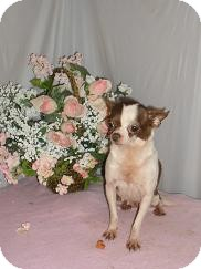 Chihuahua Dog for adoption in Chandlersville, Ohio - Contessa