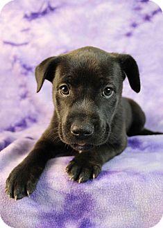Shepherd (Unknown Type)/Blue Heeler Mix Puppy for adoption in Westminster, Colorado - Bonsai